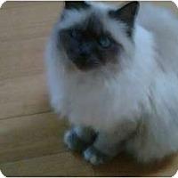 Adopt A Pet :: Shakti - Los Angeles, CA