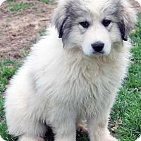 Adopt A Pet :: Fey / pup - pending - Beacon, NY