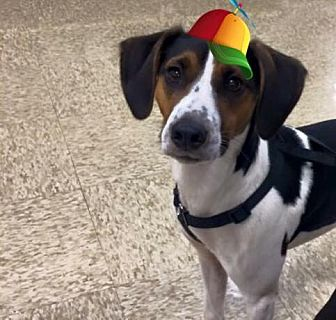 Rat Terrier/Beagle Mix Puppy for adoption in Silver Lake, Wisconsin - wilson
