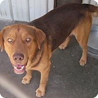 Retriever (Unknown Type)/Labrador Retriever Mix Dog for adoption in Tahlequah, Oklahoma - Archie