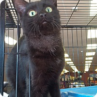 Domestic Shorthair Cat for adoption in Exton, Pennsylvania - Wubbins (Foster)
