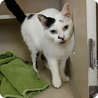 Domestic Shorthair Cat for adoption in El Dorado Hills, California - Serena