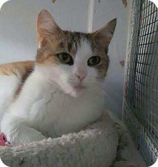Calico Cat for adoption in Port Coquitlam, British Columbia - Mallory