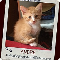 Domestic Shorthair Kitten for adoption in Lincoln, Nebraska - ANDRE