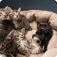 Adopt A Pet :: Kittens! Kittens! Kittens! - Mine Hill, NJ