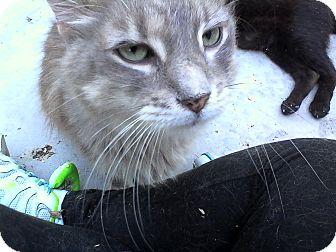 Domestic Longhair Cat for adoption in Medford, New York - Finn