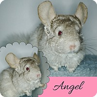 Adopt A Pet :: Angel - Welland, ON