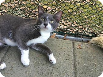 Domestic Shorthair Cat for adoption in Hammond, Louisiana - Lillie