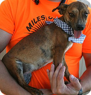 Chihuahua Mix Puppy for adoption in Pilot Point, Texas - Bindi