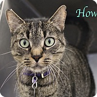 Domestic Shorthair Cat for adoption in Bradenton, Florida - Howl