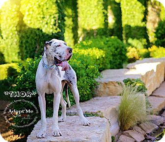 Great Dane Dog for adoption in Lubbock, Texas - Thor