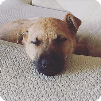 Irish Wolfhound/Shepherd (Unknown Type) Mix Puppy for adoption in Regina, Saskatchewan - Maci