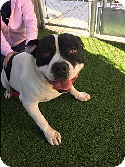 American Bulldog Mix Dog for adoption in Corona, California - Kennel 36