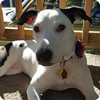 Dalmatian/Pointer Mix Puppy for adoption in Tampa, Florida - Cookie