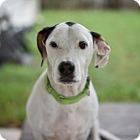 Adopt A Pet :: Nylon - Houston, TX
