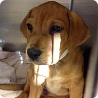 Adopt A Pet :: Kris Kringle - Suwanee, GA