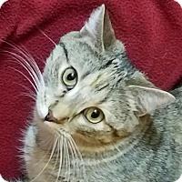 Domestic Shorthair Kitten for adoption in Colfax, Iowa - Josie