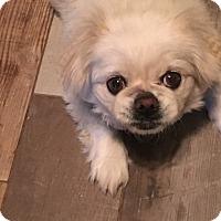 Adopt A Pet :: Princess - Oklahoma City, OK