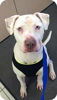 American Staffordshire Terrier/Pit Bull Terrier Mix Dog for adoption in Chicago, Illinois - Noah