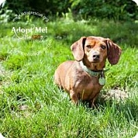 Adopt A Pet :: Daphne Doxie - Shawnee Mission, KS