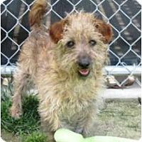Adopt A Pet :: Chumley-Adoption Pending - San Jose, CA