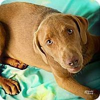 Adopt A Pet :: Chestnut - Conway, AR