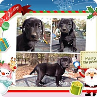 Adopt A Pet :: Sugar-pending adoption - Manchester, CT