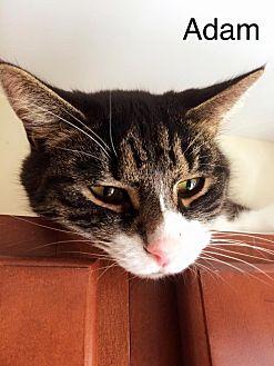 Domestic Mediumhair Cat for adoption in Huguenot, New York - Adam