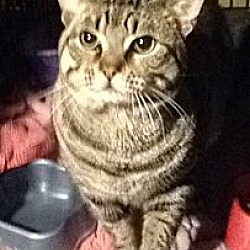 Photo 4 - Domestic Shorthair Cat for adoption in Wanaque, New Jersey - MULTIPLE CATS
