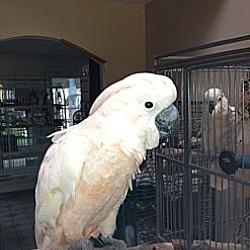 Photo 1 - Cockatoo for adoption in Fountain Valley, California - AJ