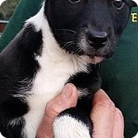 Adopt A Pet :: Canyon - Gainesville, FL
