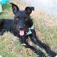 Adopt A Pet :: Raven - Rockwall, TX