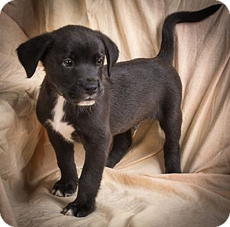 Labrador Retriever Mix Puppy for adoption in Anna, Illinois - CASSIUS