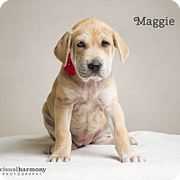 Adopt A Pet :: Maggie - Chandler, AZ