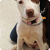 Adopt A Pet :: MIA - Westmont, IL