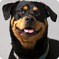 Rottweiler Mix Dog for adoption in Pt. Richmond, California - ZOEY