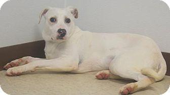 Labrador Retriever/Greyhound Mix Dog for adoption in Mocksville, North Carolina - Sugarbear