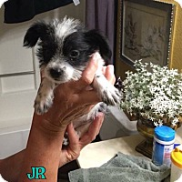 Chihuahua/Terrier (Unknown Type, Small) Mix Puppy for adoption in Rosamond, California - Jr