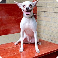 Rat Terrier/Chihuahua Mix Dog for adoption in Munster, Indiana - Mishka