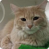 Domestic Longhair Cat for adoption in Joplin, Missouri - Shanona Cc 4709