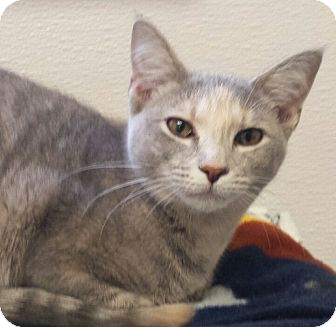 Domestic Shorthair Kitten for adoption in Kalamazoo, Michigan - Cheshire