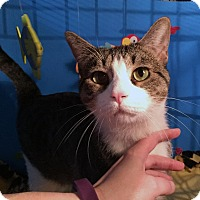 Adopt A Pet :: Victor II - Lombard, IL