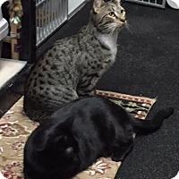 Adopt A Pet :: Jaguar and Lamberguini - Fairfax, VA