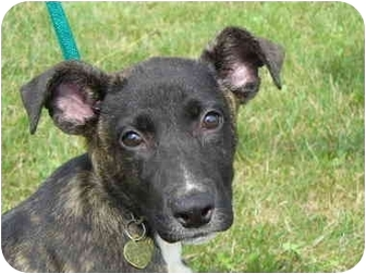 Terrier (Unknown Type, Medium) Mix Dog for adoption in Marysville, Ohio - Puddin'