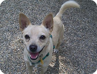 Terrier (Unknown Type, Small)/Chihuahua Mix Dog for adoption in Fennville, Michigan - Hans