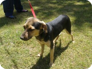Chihuahua/Miniature Pinscher Mix Puppy for adoption in Phoenix, Arizona - Ruger