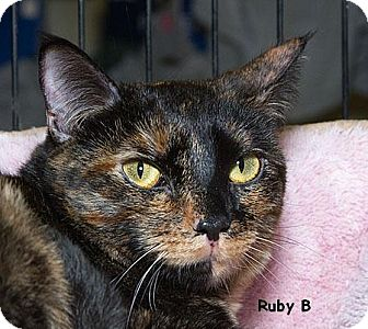 Domestic Shorthair Cat for adoption in Sacramento, California - Ruby B