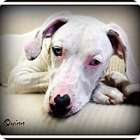 Adopt A Pet :: Quinn - Pascagoula, MS
