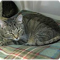 Domestic Shorthair Cat for adoption in Huntington, New York - Wendy