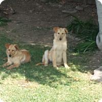 Adopt A Pet :: 2 pup's Lucy dark/Ethel - San Dimas, CA